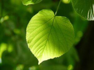 Foglia_verde