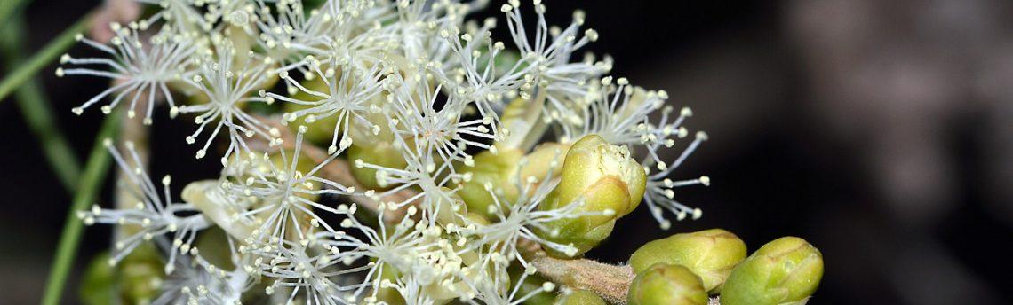 L'olio essenziale di Tea Tree: approfondiamo pregi e difetti